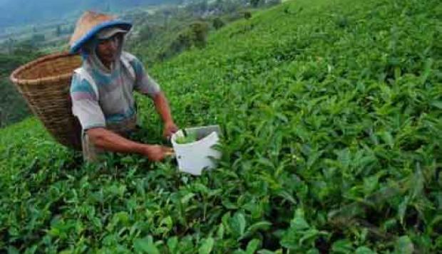Petani Kulon Progo Produksi Teh Berbagai Rasa - Warta Ekonomi