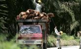Foto Perusahaan Sawit PT AGU PHK 1.230 Karyawan