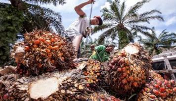 Foto Pangkas 2.326 Karyawan Perkebunan Sawit Akibat Kelesuan Ekonomi