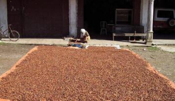 Foto Ekspor Meningkat, Harga Kakao Di Pangkal Pinang Ikut Naik