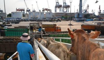 Foto PT Pelni Sudah Angkut 6.521 Sapi Untuk Penuhi Kebutuhan Daging Wilayah Jawa