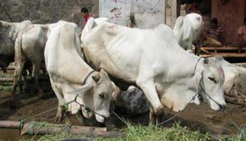 Foto Pedagang Ternak Kurban Mulai Padati Jalan-jalan di Lebak