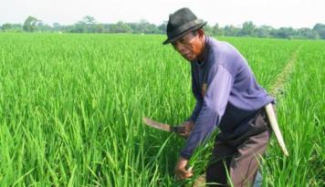 Foto Tingkatkan Produksi Padi, Petani Dihimbau Gunakan Benih Unggul